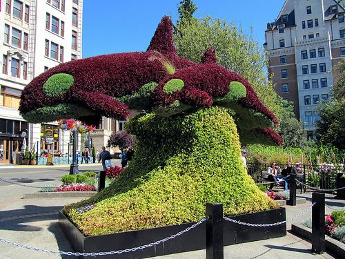 Dolphin Shaped Topiary Downtown Victoria British Columbia Bc