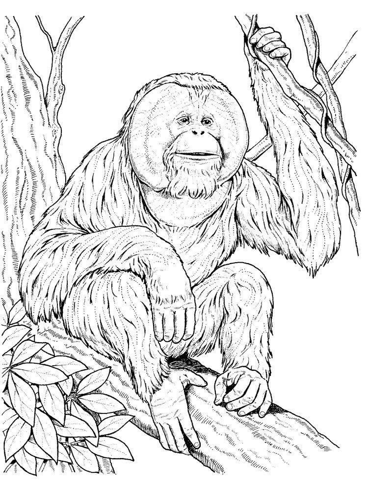 Orangutan Coloring Page Dessin Coloriage Drawing