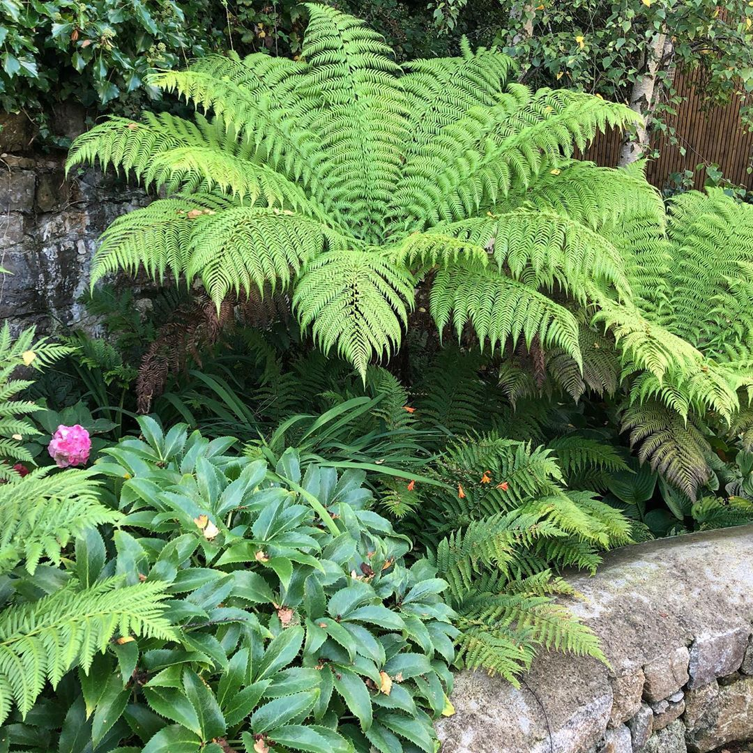 The Tree Ferns Dicksonia Antarctica Are Looking Great Today On One Of Our Gardens In Castleknock Plantdesign Garden Plants Trees To Plant Garden Planning