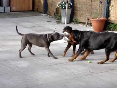 Pitbull Vs Rottweiler Fight Pitbull Vs Rottweiler Fight 2014