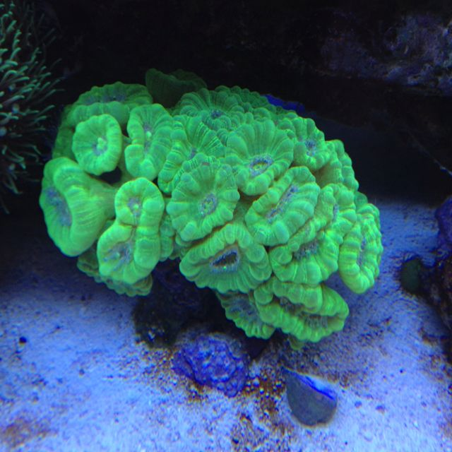 Candy Cane Coral In My Tank Green Candy Canes Fish Tank Coral