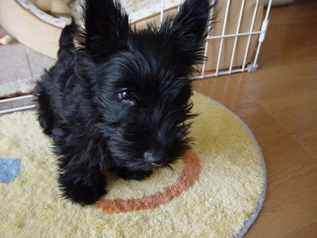baby scottish terrier baby scottie scottish terriers 8578