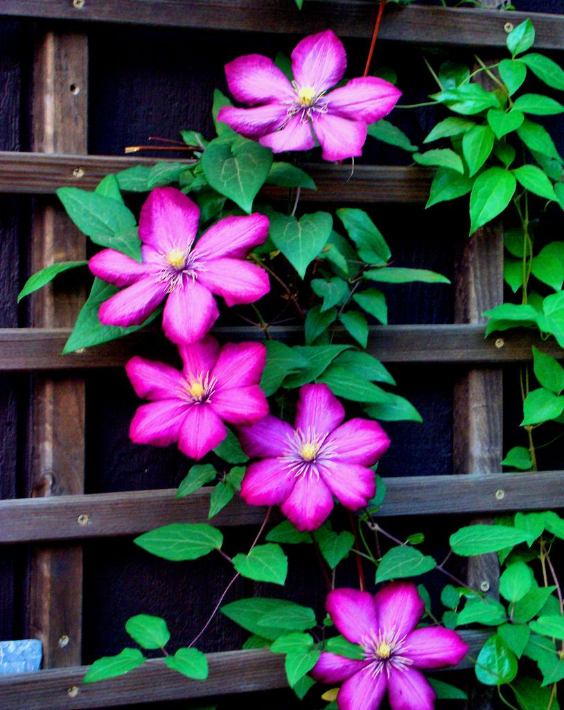 Pink clematis on trellis clematis gardens and flowers
