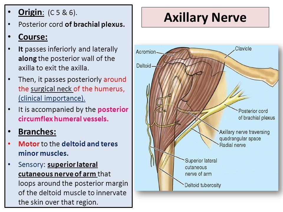 Image Result For Axillary Nerve Anatomy Pinterest Axillary Nerve