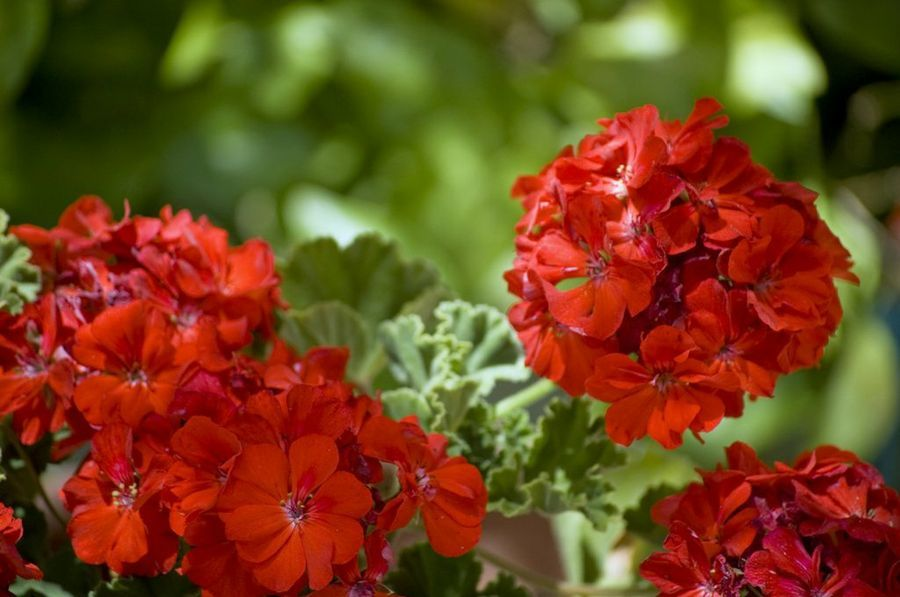 flowers are one of the best common house plant that are attract to people - Red Flowering House Plants