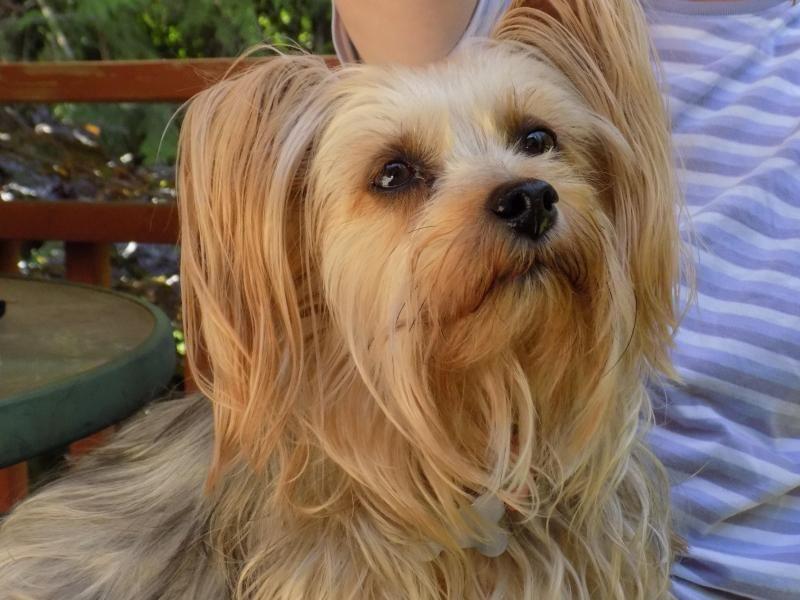 Meet Tammy, a Petfinder adoptable Silky Terrier Dog Port