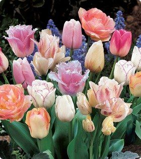 Pink Passion Mix Tulip