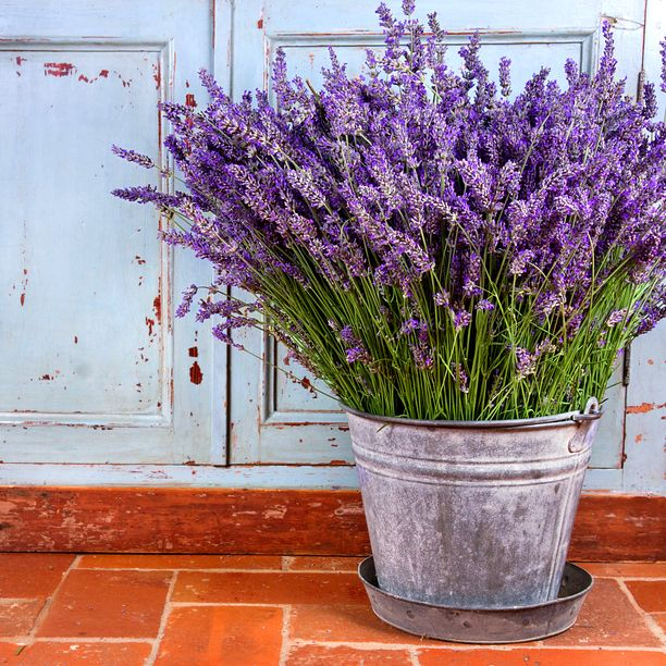 Three cheers for lovely, luscious lavender!