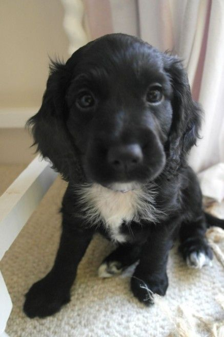 Baxter Might Have Looked Like This Cocker Spaniel Puppies Spaniel Puppies Black Cocker Spaniel Puppies