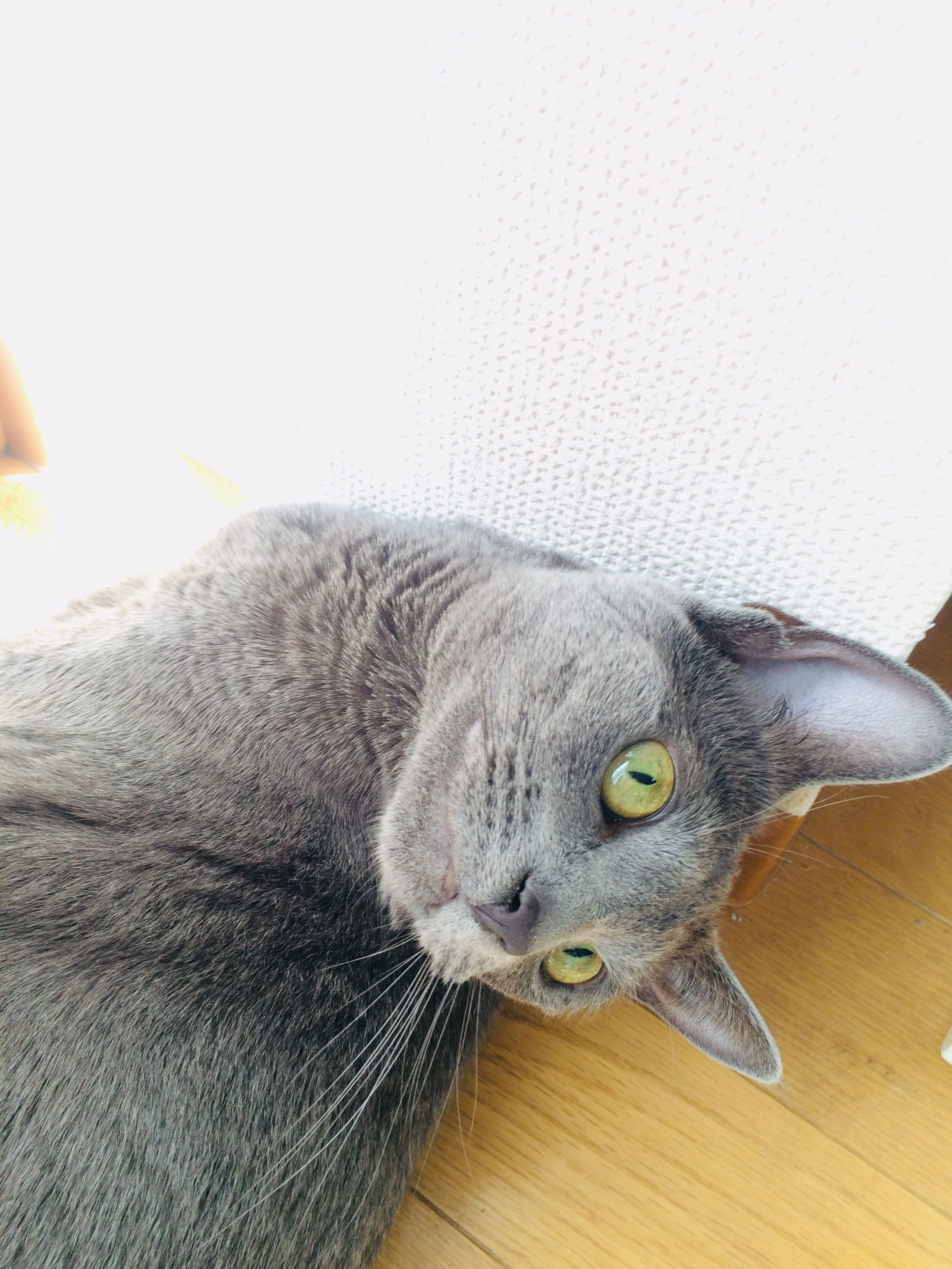 Pin by Roland Thistle on 麦 Russian blue cat, Russian