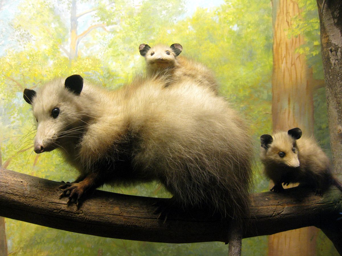 10 things you never knew about opossums opossum and animal