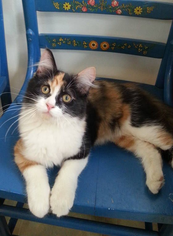 Tiny Calico Kitten Rescued Now 3 Months Old Calico Kitten Kitten Cute Cats