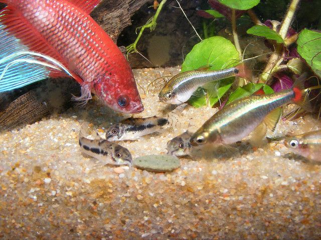 Pygmy Cories With White Clouds And Betta Fish Aquariums Fish Corydoras Betta Fish Tank Betta Aquarium Tropical Fish Tanks