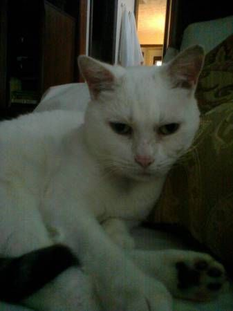 LOST White Female Cat with black tail East Rock Area
