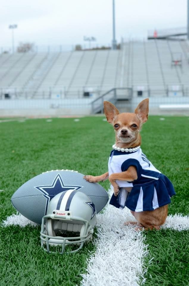 on sale 0efbe 598bf Teeniest Dallas Cowboy fan! | Baby Chihuahua | Chihuahua ...