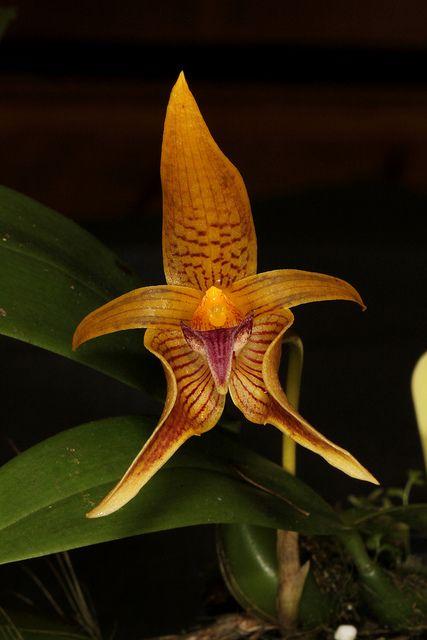 Bulbophyllum Smitinandii 2013 11 25 01 Rare Orchids Unusual Flowers Orchid Flower