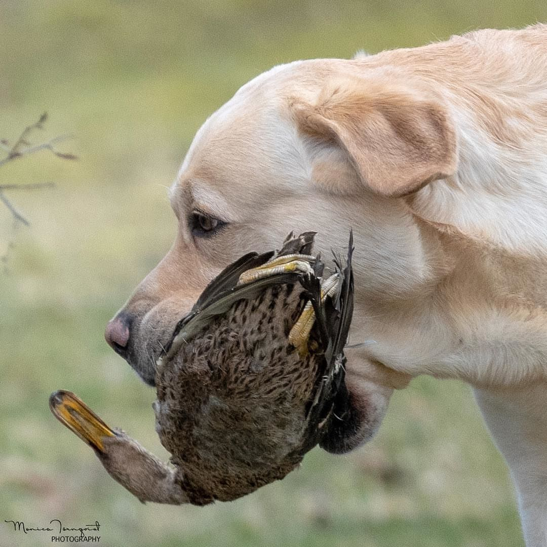 Labrador Kisses