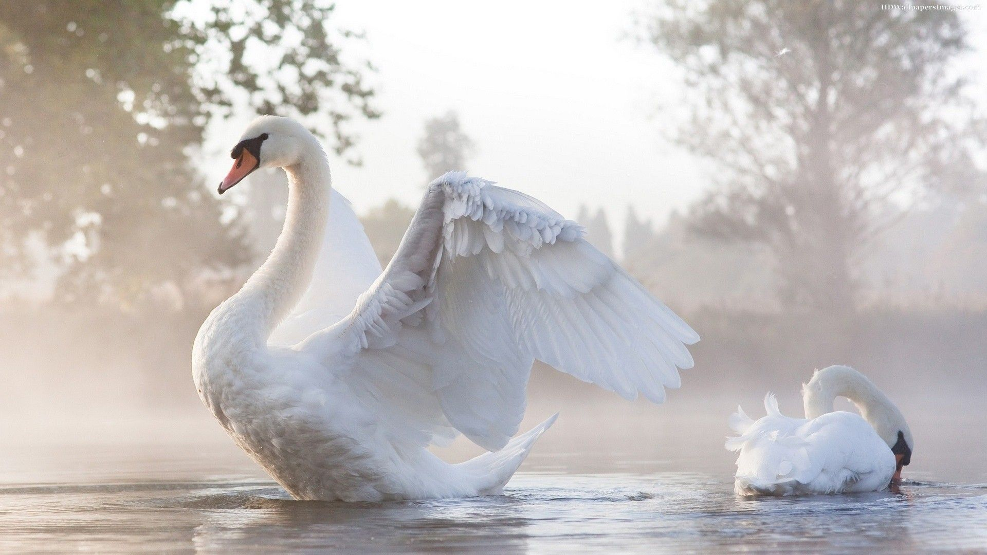 Pin by emma broms on inspiring wing and bird pics - Swan wallpapers for desktop ...