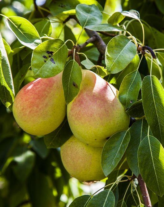 Ayers Pear Tree 3 4 Yagody Griby Frukty