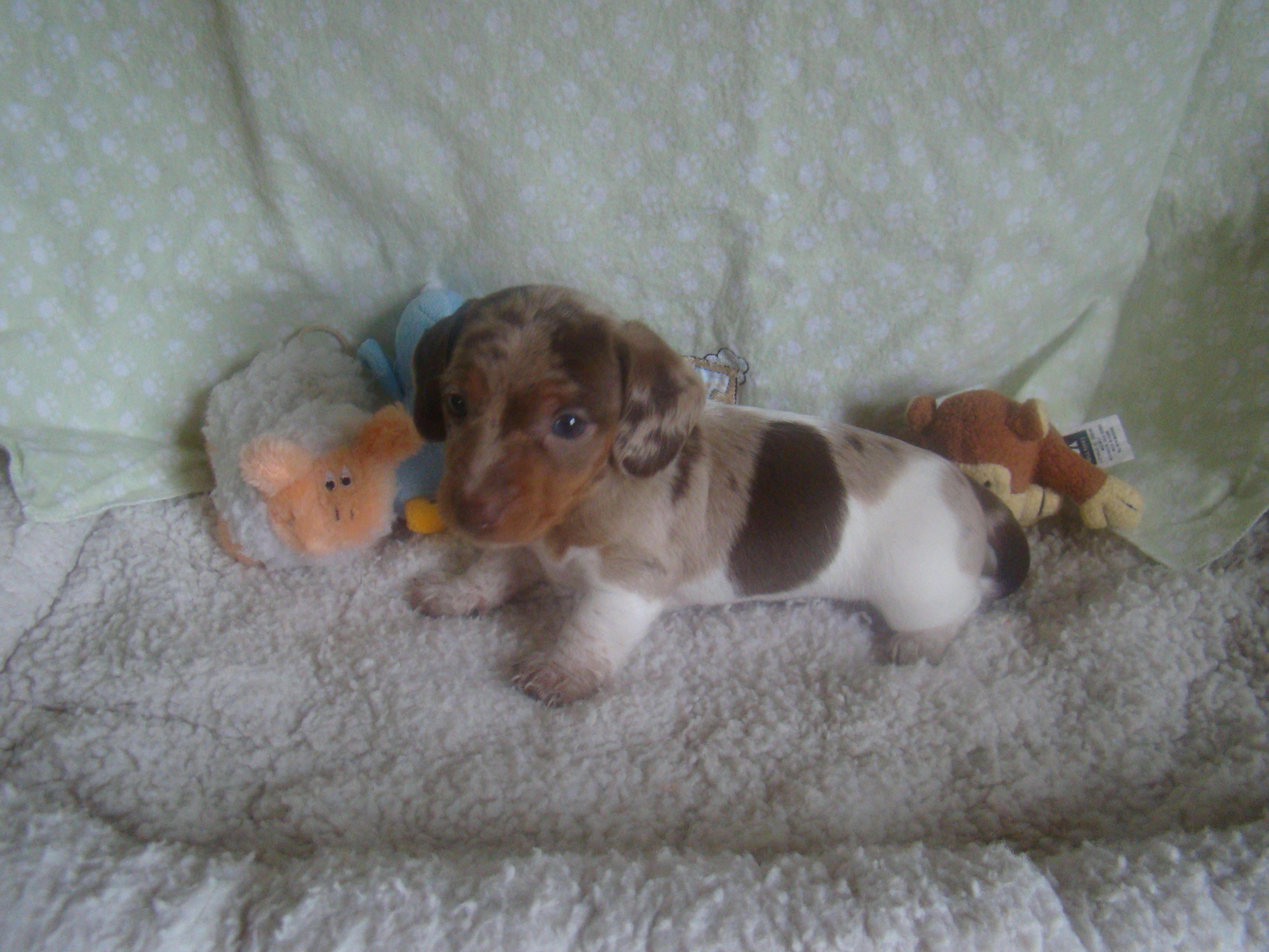 Oliver 6 Week Old Miniature Piebald Dapple Daschund Dachshund Dachshund Puppy Black Dachshund Breed
