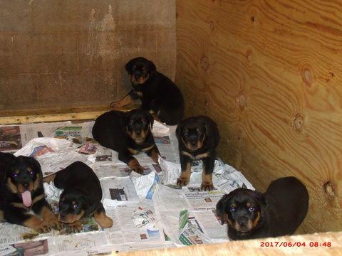 Rottweiler Puppy For Sale In Decatur Ga Adn 33438 On Puppyfinder