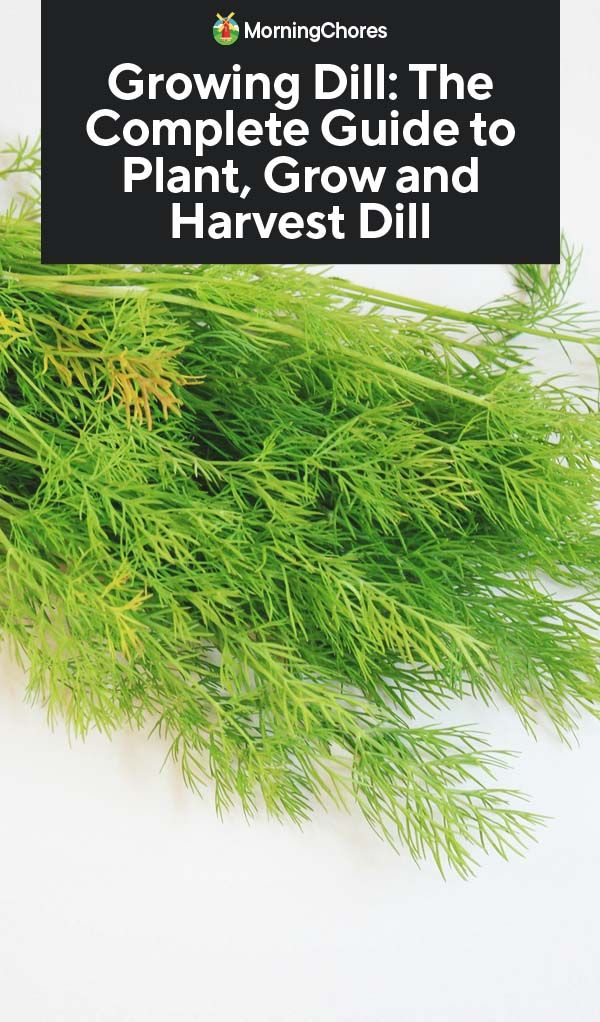 Growing Dill: The Complete Guide to Plant, Grow and Harvest Dill #howtogrowplants