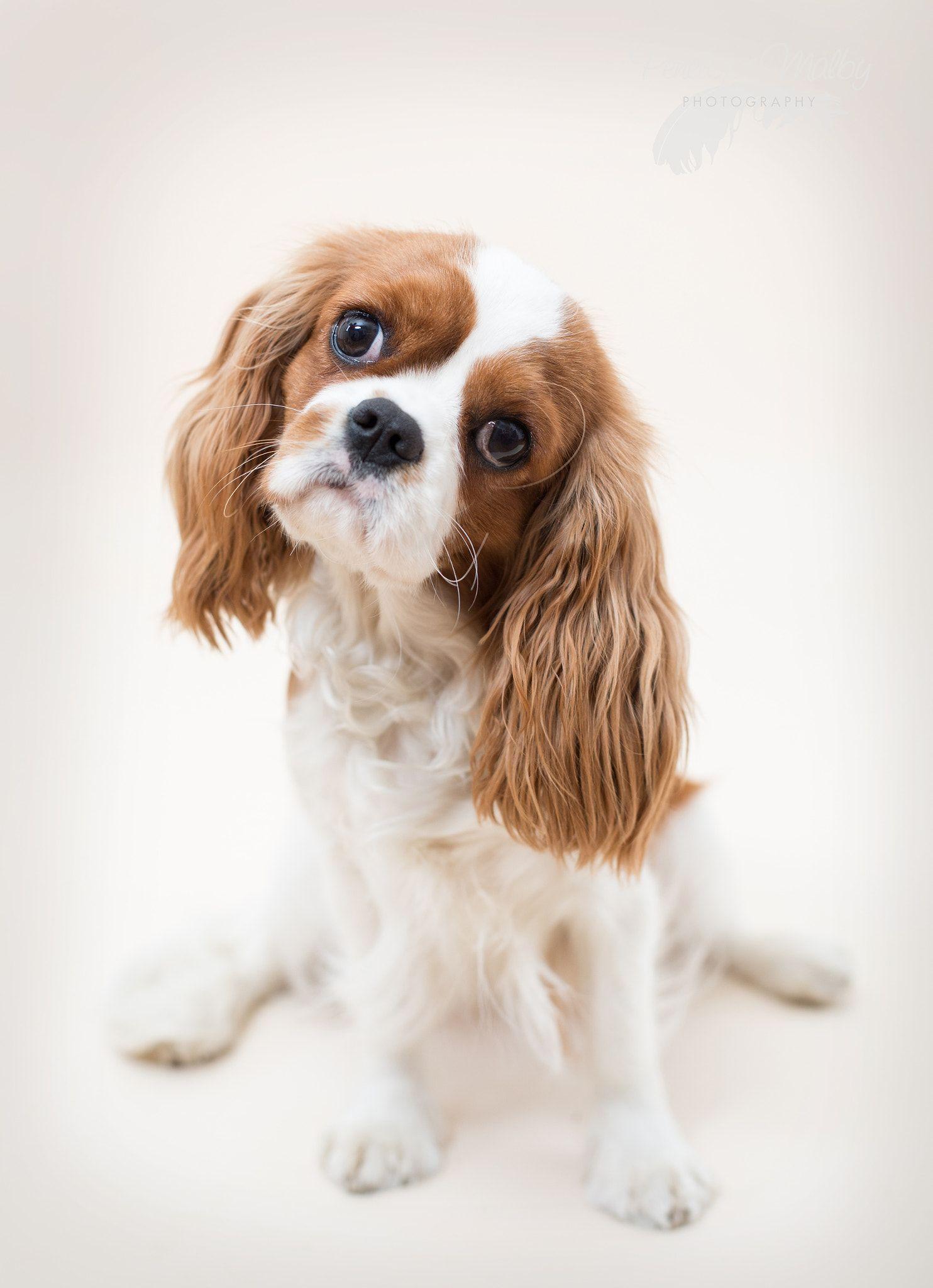 Just Rosie Rosie, Cavalier King Charles Spaniel puppy