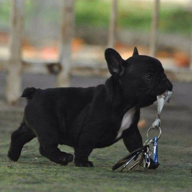 That S It I M Just Going To Take Myself To The Dog Park Franzosische Bulldoggenbabys Tierbilder Susse Tiere