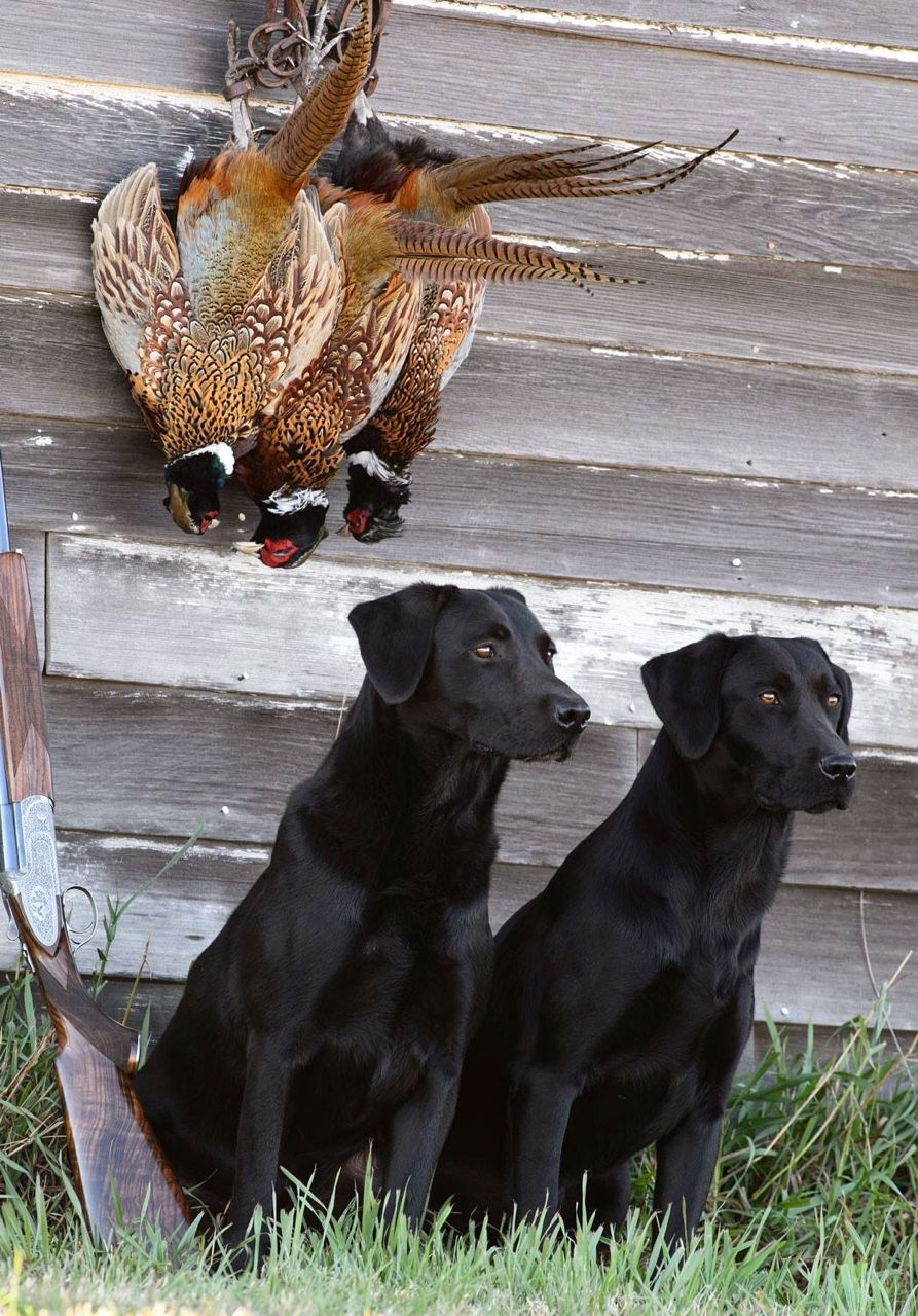 Rbjohn310 British Labs At Wildrose Kennels In Oxford Ms