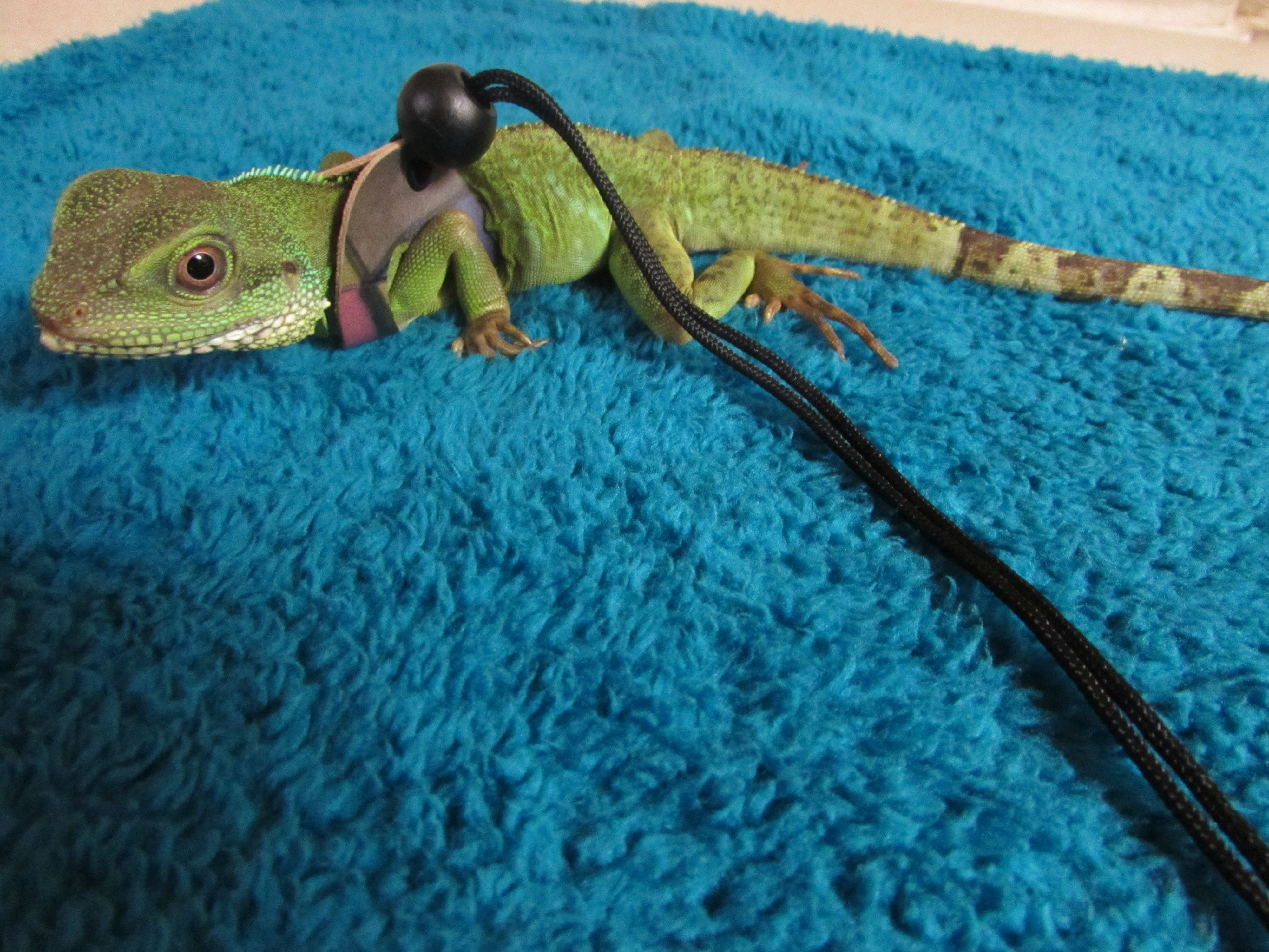 Pin by Colleen Eastman on Lizard rs | Pinterest | Water dragon ...