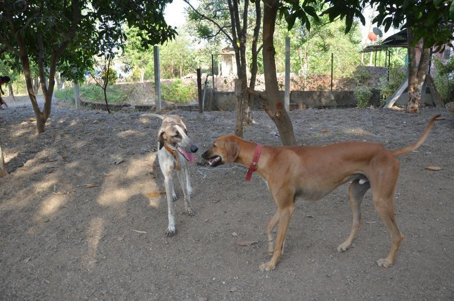 Mudhol Hound Mudhol Hound Price In India Mudhol Hound Puppy For