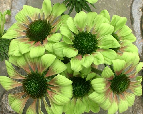 Fiori Verdi Nomi.Flowerstardust Verde Fiori Girasoli Natura