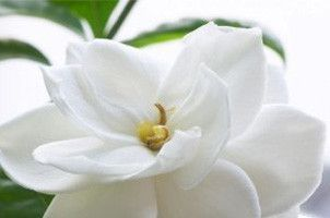 Gardenia Rubiaceae Easminicides Veichii Flower Essence Gardenia Indoor Gardenia Wedding Flowers Gardenia Wedding