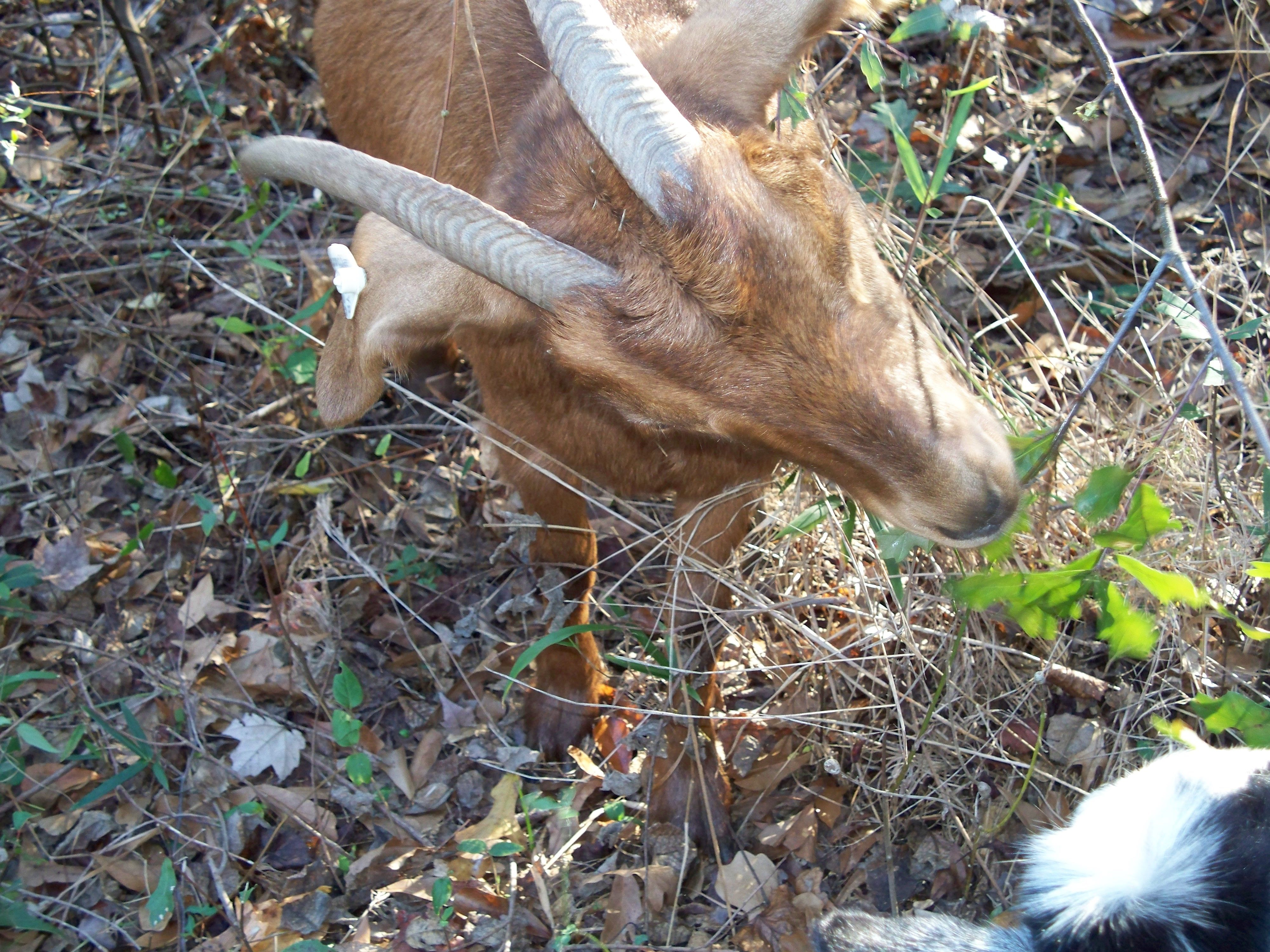This pretty goat had pretty horns too...The white toggenburg stripes are just lighter chocolate color.