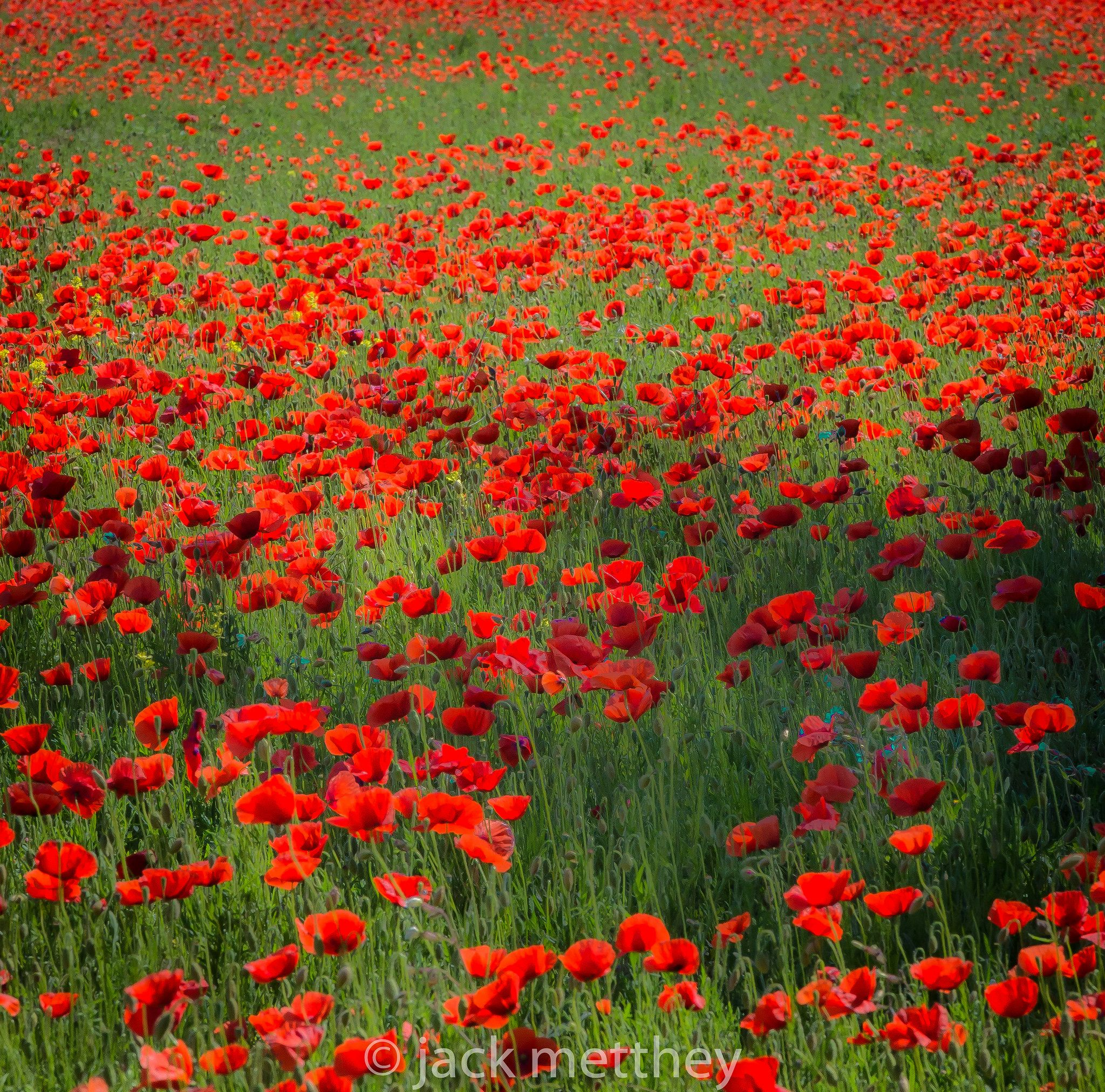 Https Flic Kr P Vurpzj Poppy Field In Ile De Re Tribute To Claude Monet Mohn Rot Mohnblume Mohn