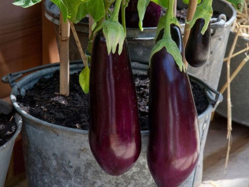 40 Beautiful Fruit Plants In The Pot Decoarchi Com Growing Vegetables Growing Eggplant Fruit Plants