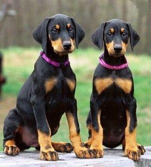 Doberman Pinscher Pups Double Nawww Doberman Pinscher