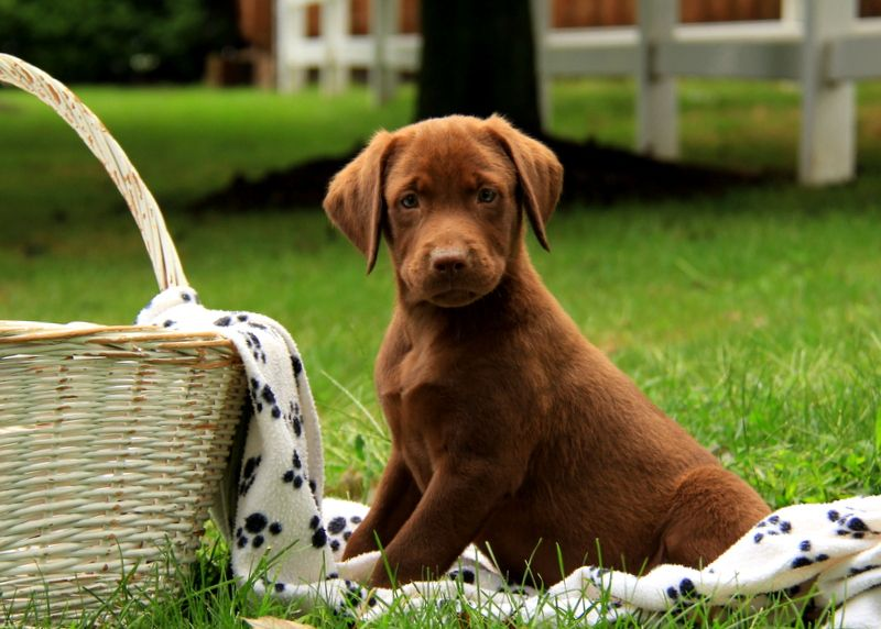 Brownie Chocolate Labrador Retriever Puppy For Sale In