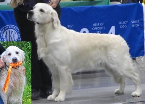 Ch Celtic Cembro Du Pin Aux Cinq Aiguilles Jh Gunny Centerforcanines Com Retriever Golden Retriever Service Dogs