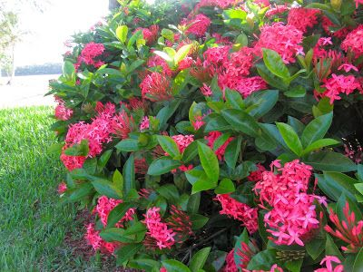 May Days Ixora In My Garden Trees To Plant Flowering Trees