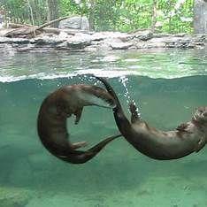 55b2eb210 Swimming otter   Otters 1   Otters, River otter, Animals