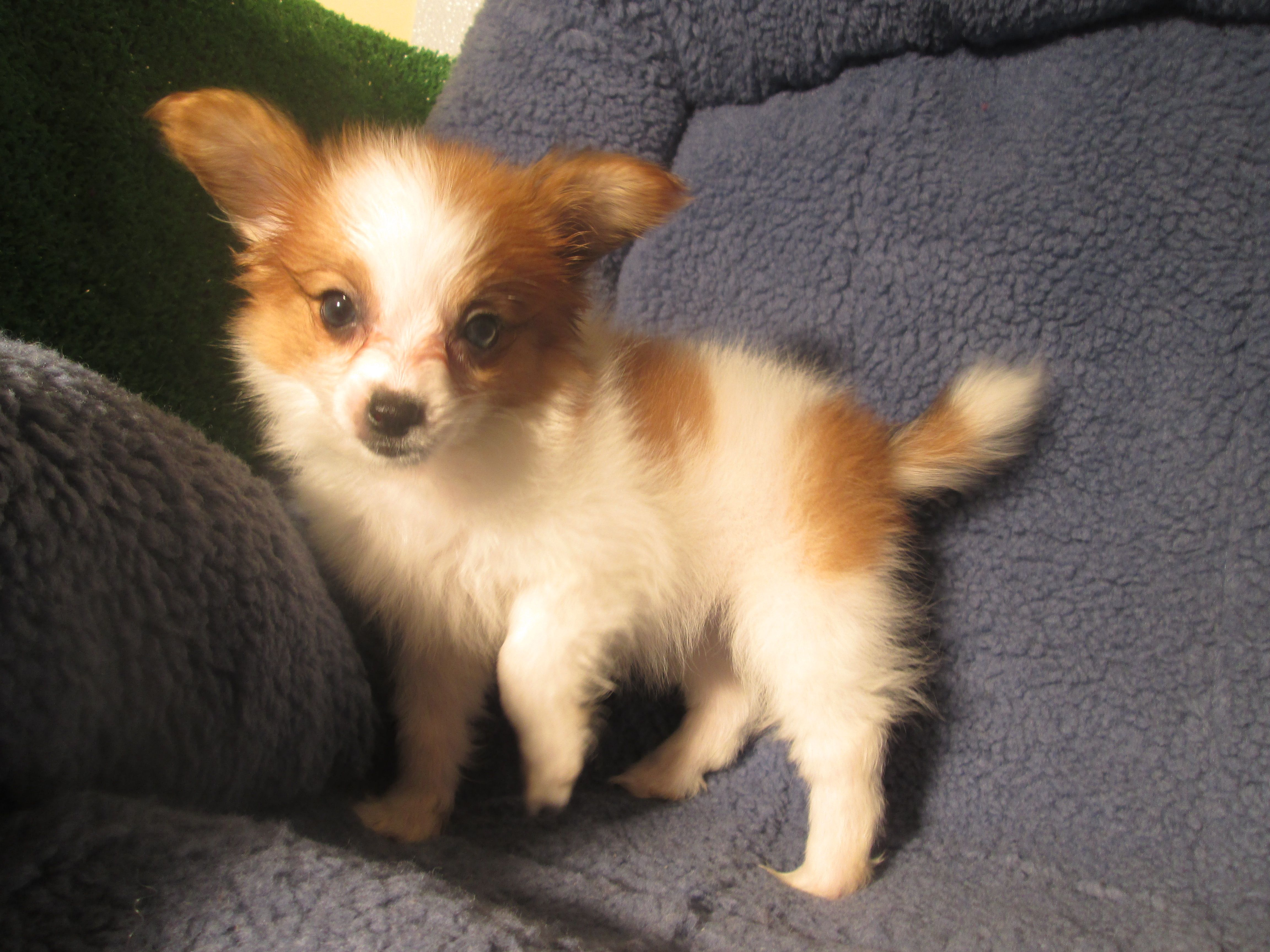 Precious Papillion Puppies Available 8 12 Weeks Of Age Permanent Shots And Wormings Completed Along With Mi Papillion Puppies Puppies Puppies For Sale
