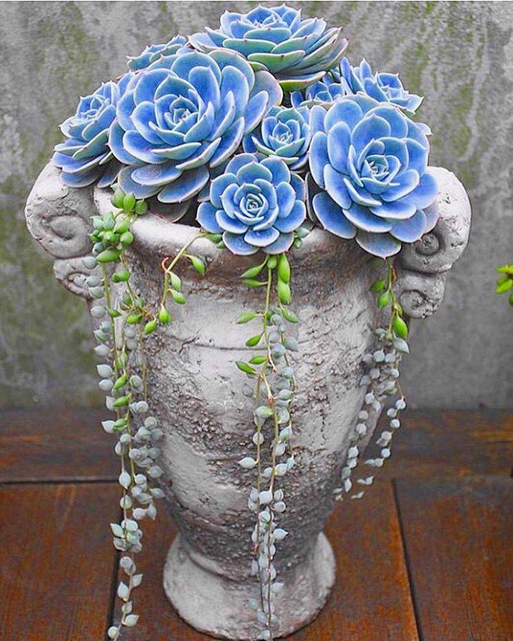 Beautiful Blue Succulent Arrangement Succulents Succulent Garden Diy Succulent Garden Indoor