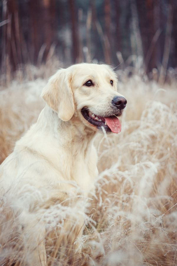White Golden Retriever Dog Puppy Hound Chien Perro Hond