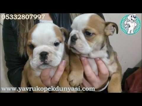 İngiliz Bulldog Yavru İlanı