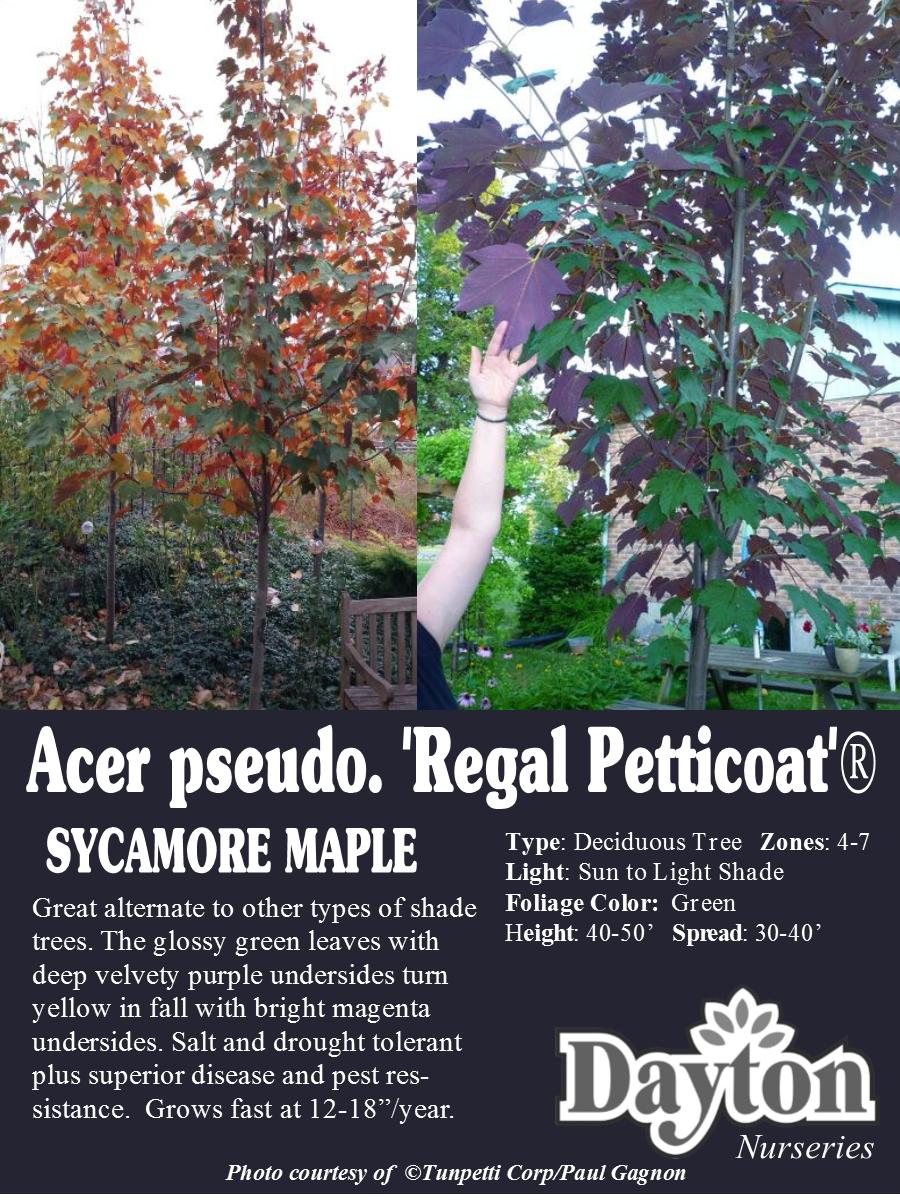Acer pseudo. \'Regal Petticoat\'® Tunpetti - Sycamore Maple - Great ...