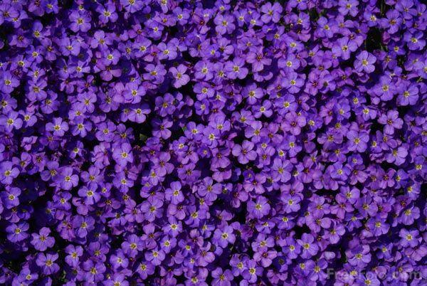 Pianta erbacea perenne tappezzante molto utilizzata - Muri da giardino ...