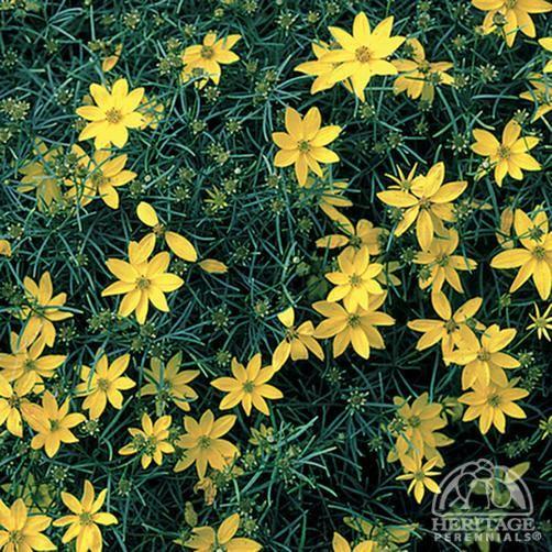 Plant Profile For Coreopsis Verticillata Zagreb Threadleaf Coreopsis Perennial Plants Perennials Native Plant Gardening