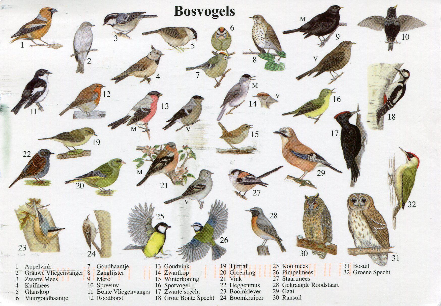 Spiksplinternieuw vogel platen herkennen - Google zoeken | Vogelspotten, Vogels, Natuur IB-89