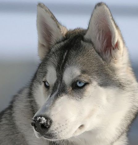 Wow Il Ressemble Vraiment A Un Loup 3 Grey Siberian Husky